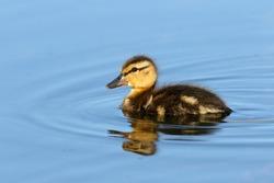 Single Mallard Duckling swimming in blue water, British Columbia, Canada