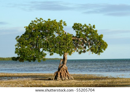 Single Mangrove Tree, Low Tide Florida Keys