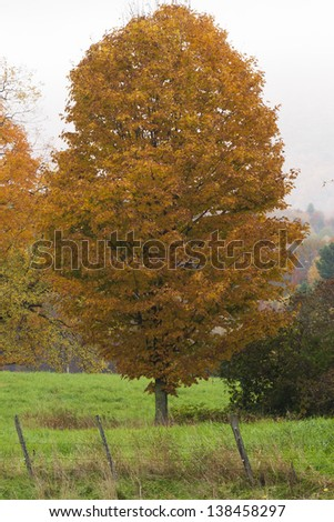 Single maple tree during fall foliage season, Stowe Vermont, USA