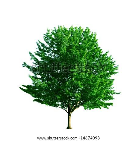 Single maple tree on white background