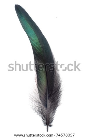 single matural feather isolated on white