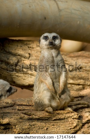 Single meerkat staring directly into the camera