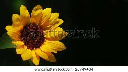 Single miniature sunflower -- shallow depth of field