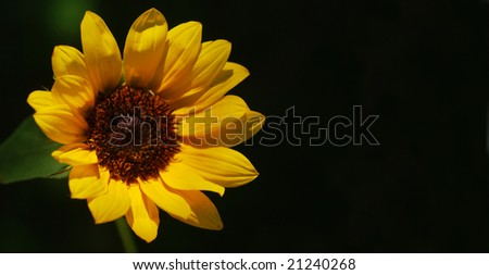 Single miniature sunflower -- shallow depth of field (part of a series)