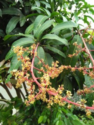 Single (monoecious), mango flower is a hermaphrodite compound flower (androgynous).  The size of the flowers is approximately 6–8 mm, the wreath is usually hairy, greenish yellow, up to 40 cm long.