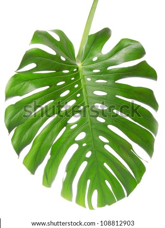 Single Monstera leaf isolated on white