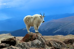 Single mountain goat standing on rock horizontal Mount Evans Wilderness Colorado