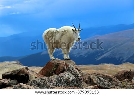 Single mountain goat standing on rock horizontal Mount Evans Wilderness Colorado