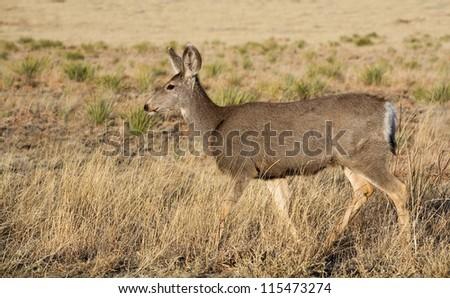 Single mule deer doe walking on a grassy field in New Mexico