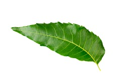 Single Neem leaf isolated on white background.
