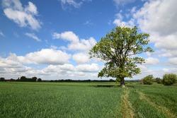 Single oak tree in a field in spring