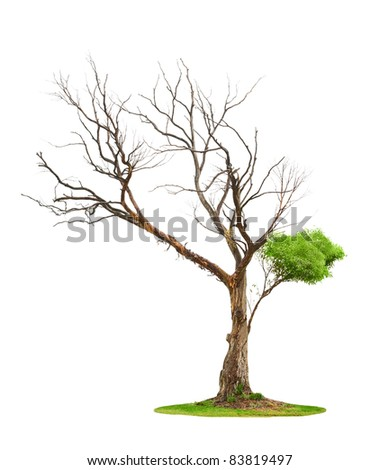Single old and dead tree and young shoot from one root isolated on white background