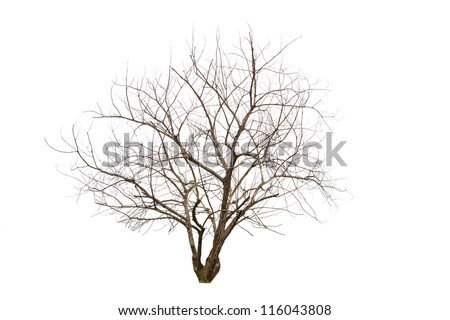 Single old and dead tree, Isolated on white - stock photo