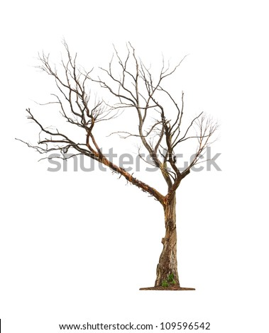 Single old and dead tree  isolated on white background #109596542