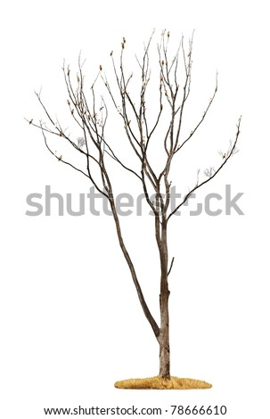 Single old and dead tree with white parrots on the branches isolated on white background