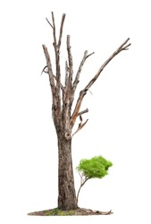 Single old tree and young shoot from one root isolated on white background