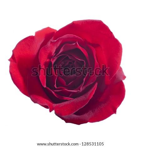 Single Open Rose Isolated on White Background