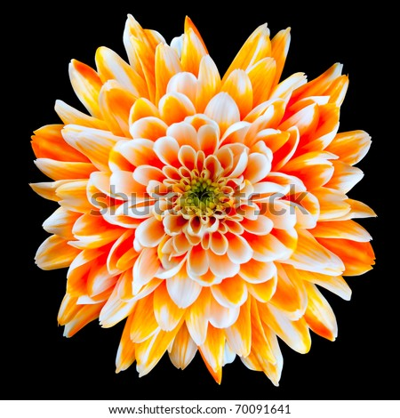 Single Orange and White Chrysanthemum Flower Isolated on Black Background. Beautiful Dahlia Flowerhead Macro
