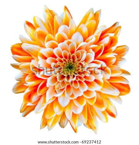 Single Orange and White Chrysanthemum Flower Isolated on White Background. Beautiful Dahlia Flowerhead Macro - stock photo