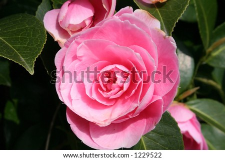 Single Pale Pink Camelia, romantic cluster.