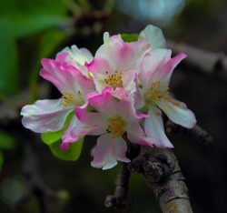 Single pale pink frilled decorative flowers of deciduous apple fruit trees in spring blossoms against the blue Australian sky attracting bees to the sweet pollen is a superb sight in the urban street.