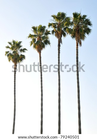 Single palm tree isolated against the blue sky