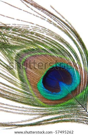 Single peacock feather. Closeup. Isolated