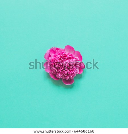 single peony flower on a blue background. minimalism and the concept of blooming in may #644686168