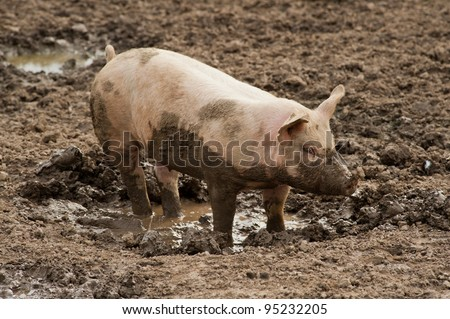 single pig playing in the mud with thick nasty mud all over it's face at an agricultural  farm