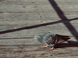Single pigeon on wooden boardwalk with shadow pattern on a sunny day