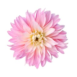 single pink flower dahlia isolated white background for design. color pink yellow gradient ombre