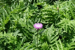 Single pink flower in the leafage of Centaurea dealbata in mid May