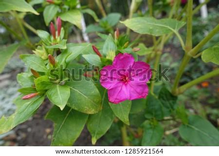 Single pink flower of Mirabilis jalapa in September #1285921564