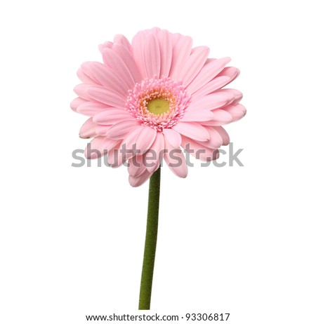 single pink gerbera isolated on white background with clipping path