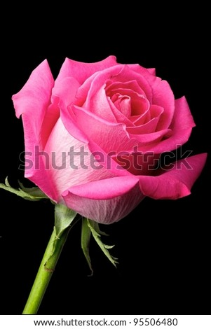 Single pink hybrid tea rosebud, vertical layout, isolated on black background