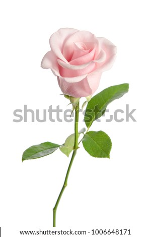single pink rose isolated on white background #1006648171