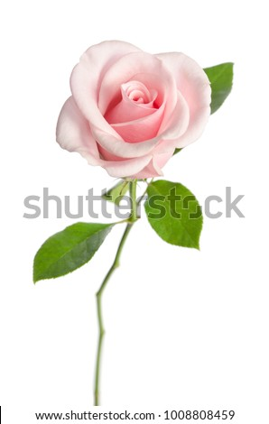 single pink rose isolated on white background