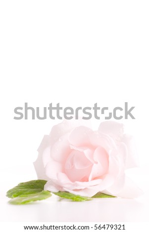 Single pink rose with green leaves isolated.