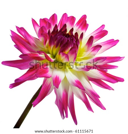 single pink with white, yellow and red dahlia isolated on white - stock photo