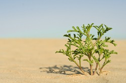 single plant growing in the desert
