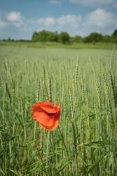 single poppy flower in a cornfield