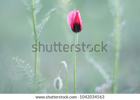 Single poppy flower (Papaver) in the forest. Blurred focus.