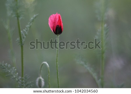 Single poppy flower (Papaver) in the forest. Mild focus.