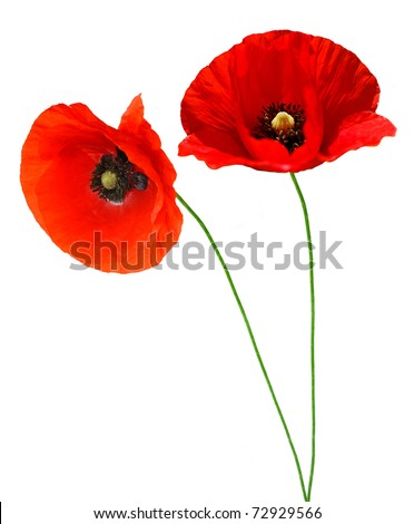 Single poppy isolated on white background
