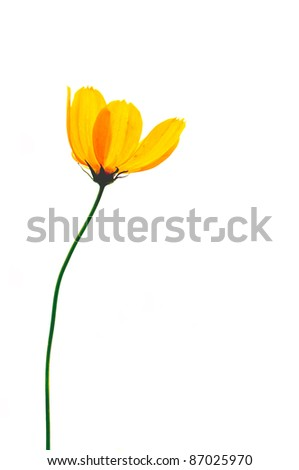 Single poppy isolated on white background .