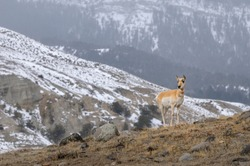 Single Pronghorn Antelope on a rocky ridge in winter at Old Yellowstone Trail South Gardiner Montana