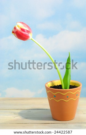 Single red and yellow tulip in terracotta pot