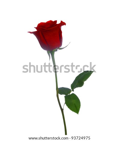 single red beautiful rose on a white background