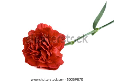 Single red carnation on white background.