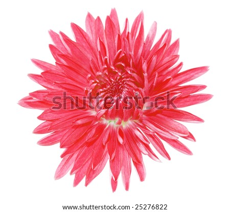 chrysanthemum flower tattoo. 2010 and chrysanthemum flowers